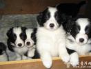 云南普洱出售边境牧羊犬幼犬普洱边牧犬价格