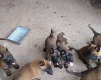 云南到哪里买狗好 普洱什么地方卖狗 狗场马犬价格