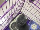 想给它找个好人家,品种是拿破仑矮脚蓝猫