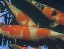 出售日本锦鲤