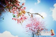 大街镇千亩茶园樱花绚丽绽放